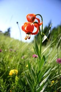 cvetlica detajl