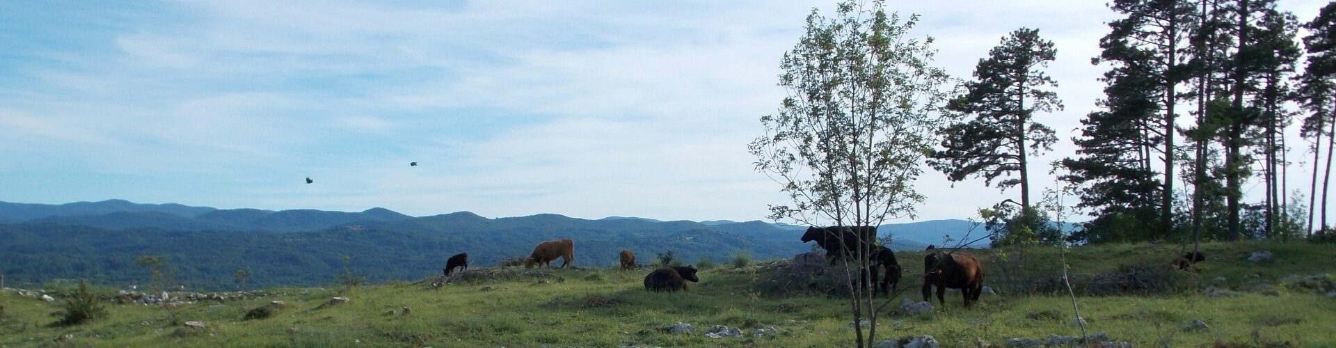 govedo angus na ranču Solne