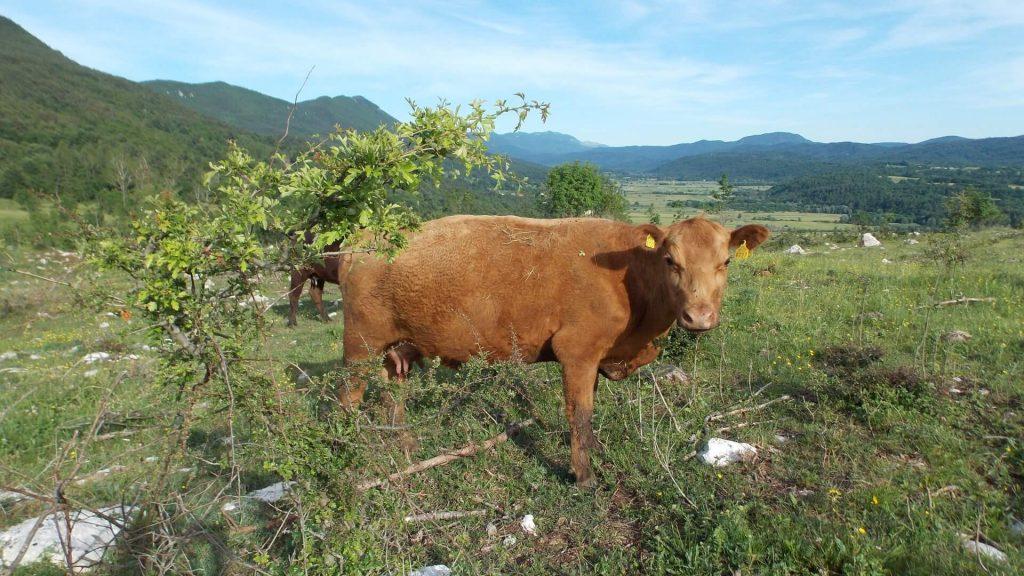 rdeče angus govedo