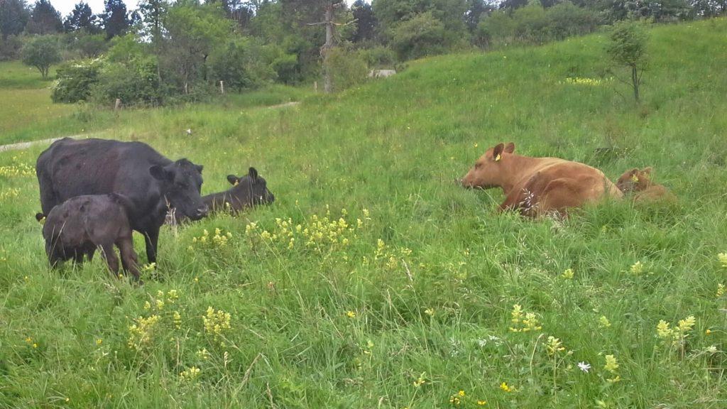 govedo angus na travniku